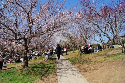 坂道の上には満開の梅