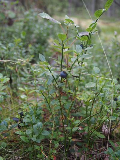 コテージ横の森には、ブルーベリー