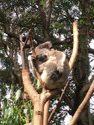 コアラ抱っこできます