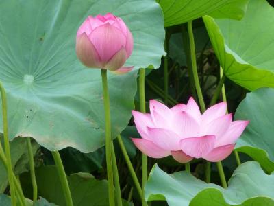 池一面に蓮、今年は8月末頃まで楽しめそう