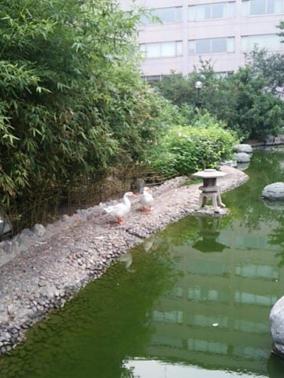 池にはアヒルがいた