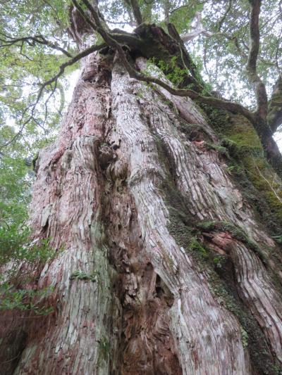 車で目の前に行ける樹齢3000年の大木