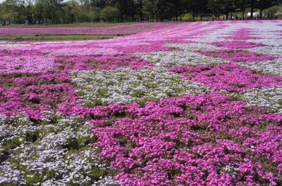 2019年5月、ピンクの絨毯は、圧巻で素敵。海外観光客が多い