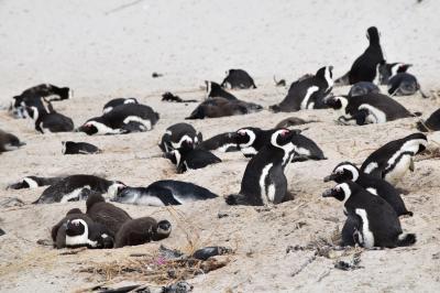 ケープペンギンの居住区