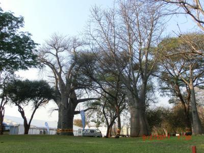 庭のバオバブの木