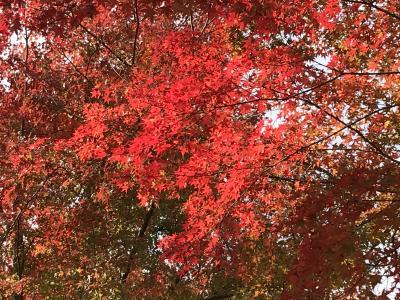 真っ赤な紅葉がとてもきれいです
