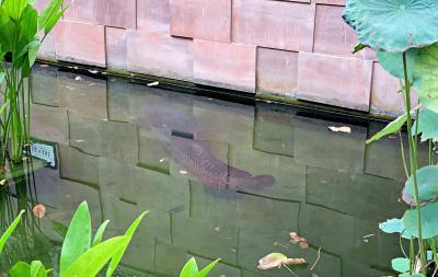 ピラルクが泳いでいました。