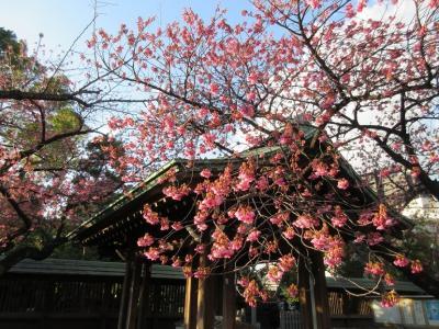 見事な寒緋桜が咲き、大勢の見物の方が訪れていました。