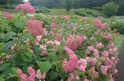 赤城の恵の荻窪公園は紫陽花が見頃