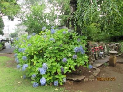 石仏には紫陽花が似合う。