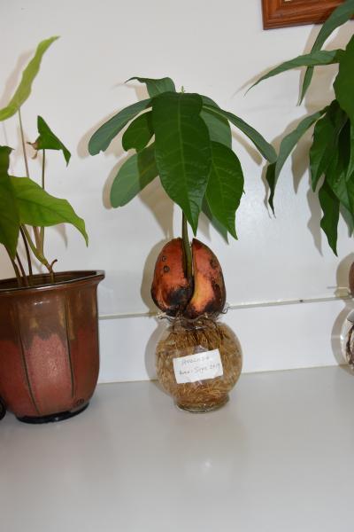 アボガド水耕栽培の展示があります