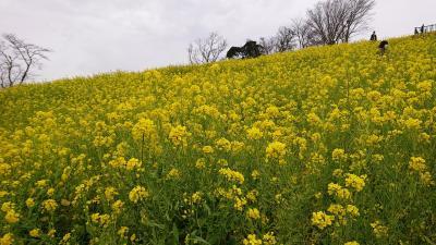 菜の花の大斜面