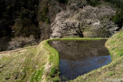 源義経伝説の桜の古木