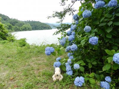 琵琶湖を背景にアジサイが見られます
