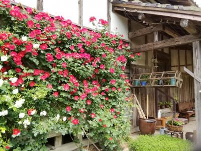 この時期にバラが見ごろな二宮家庭園