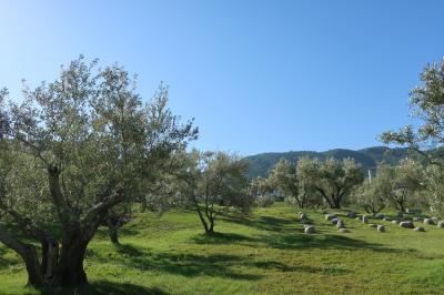山の斜面のオリーブ畑
