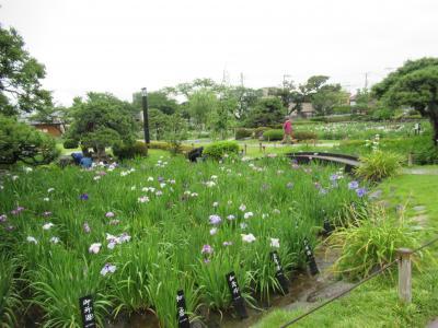 入園無料の葛飾区の菖蒲園
