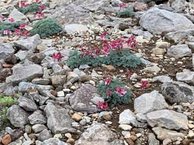 高山植物の女王コマクサや希少な植物を見る事ができました。