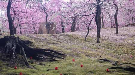 京都 圧巻の枝垂れ梅を伏見城南宮で観梅