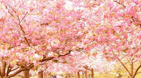 �エジンバラとロンドン花も団子も一人旅 グリニッジ桜と郊外ブルーベル