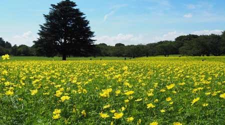 レモンイエローに染まる花畑@昭和記念公園