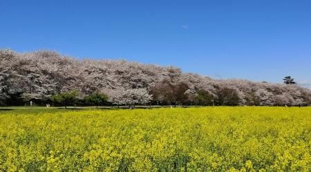 幸手権現堂 満開の桜並木と菜の花