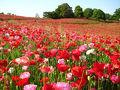 【関東近郊】東京から日帰りで行ける!絶景の花畑スポット13選 2019年版