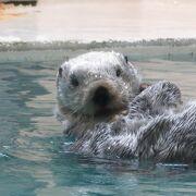 たったこれだけ! かわいいラッコに会える希少な国内の水族館