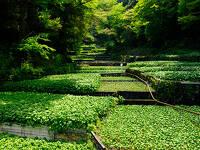 わさびを味わい 伊豆に出会う Wasabi Journey