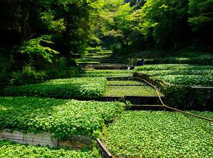わさびを味わい 伊豆に出会う Wasabi Journey 写真