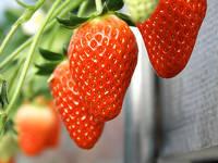静岡のあま~い苺が食べ放題♪いちご狩り体験付ご宿泊プラン