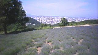 幌見峠のラベンダー