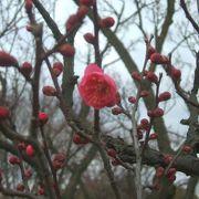 梅は咲いたかな・・・・・・