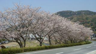 那賀川堤防の桜並木