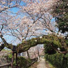 伊東温泉の松川遊歩道のソメイヨシノは、3月下旬から4月上旬にかけて見事な桜を見せてくれます。