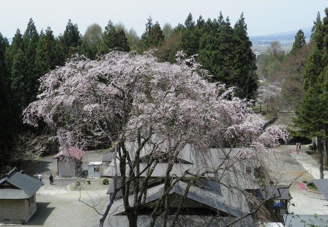 樹齢130年のしだれ桜+川沿いの桜+磐梯山