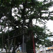 名護市のシンボルともいえるガジュマルの大木。