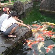 小千谷に来たなら錦鯉をご覧ください♪優雅に泳ぐ鯉に癒されます