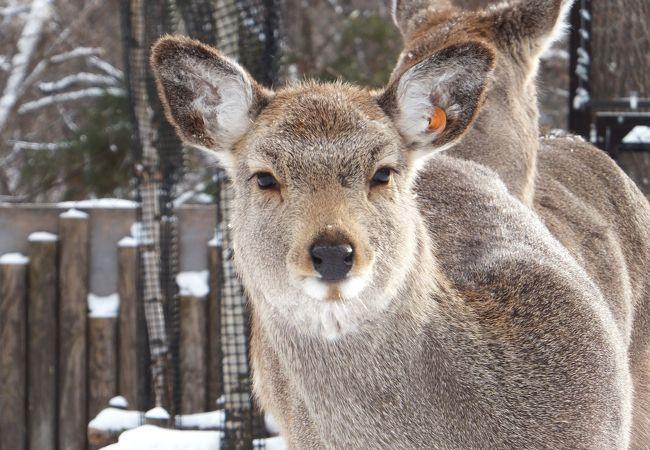 エゾシカ:おくちがかわいい!お耳がかわいい!