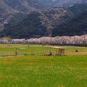 早春に、休耕田を使って一面のお花畑が出現します。見渡せば桜並木も。