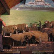 羊の毛刈のデモンステレーションも
