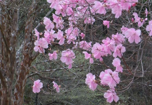アカヤシオというツツジの美しさは格別です