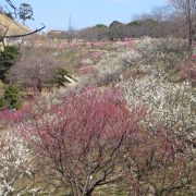 鈴鹿山脈を背にした美しい梅園