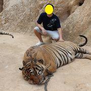 本物虎とふれあえるタイガーテンプル