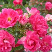 バラの種類が多い