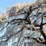 しだれ桜が最高