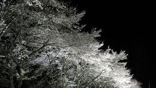 八坂湖畔桜