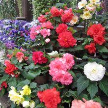 花菖蒲が咲いてなくても園内のベゴニアやあじさいが見られます