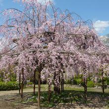 東寺 枝垂桜