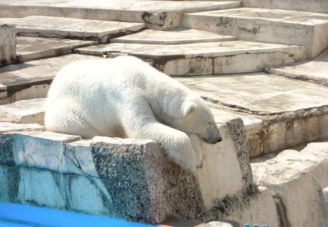 お昼寝中のシロクマ
